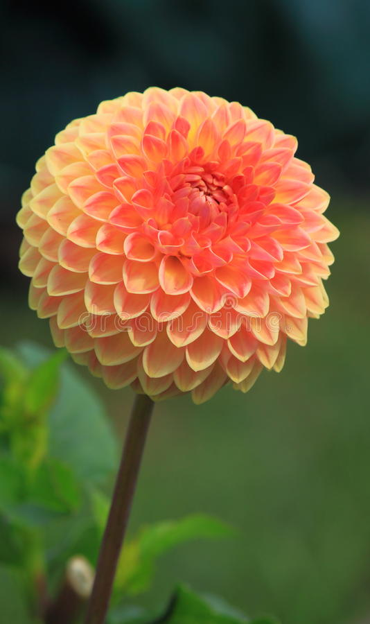 Розовый цветок георгина стоковое фото