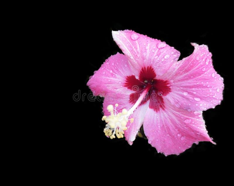 Розовый цветок гибискуса на черной предпосылке стоковая фотография