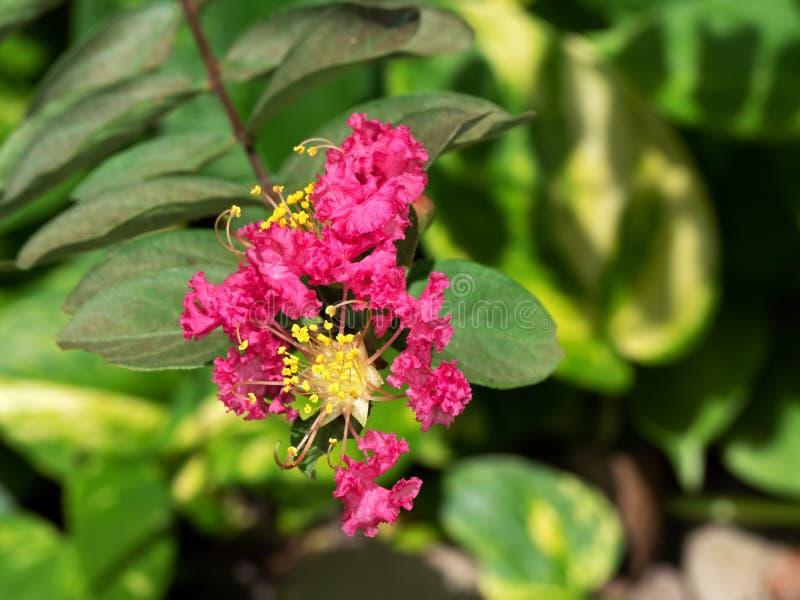 Розовый цветок гордости дерева Индии изолированной на предпосылке природы стоковое фото