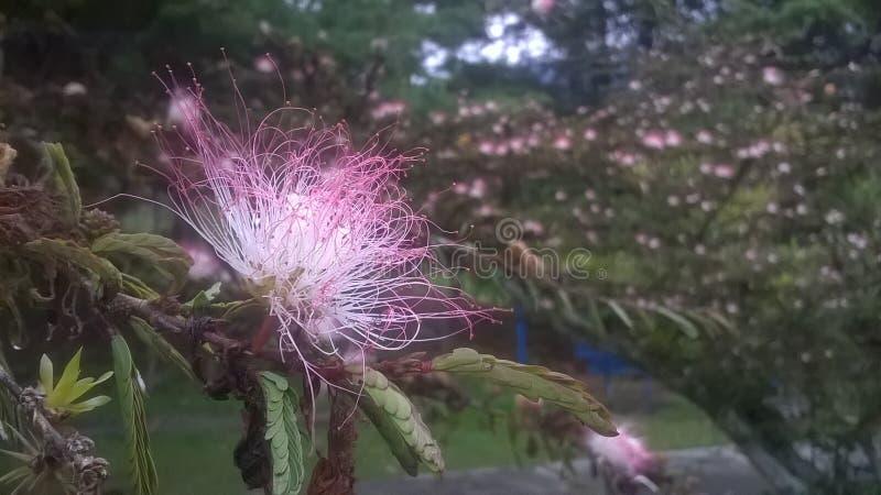 Розовый цветок Дерево дождя стоковая фотография rf