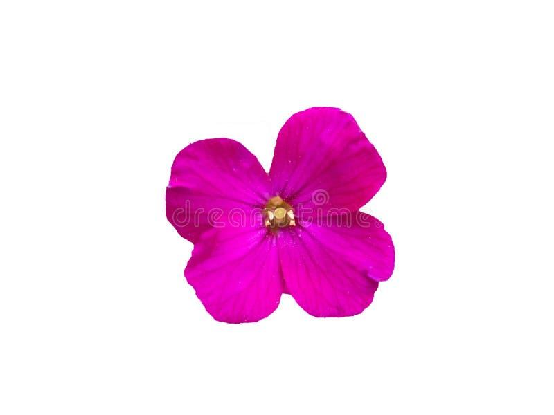 Розовый цветок изолированный на белой предпосылке стоковая фотография rf
