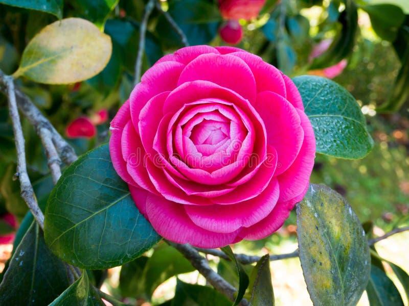 Розовый цветок камелии в саде стоковые фото