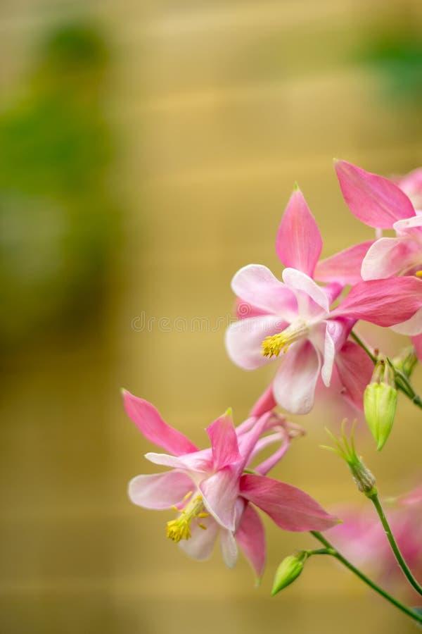 Розовый цветок конца-вверх Aquileia Columbine стоковая фотография
