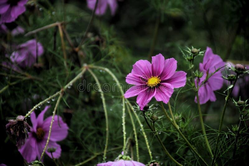 розовый цветок космоса в саде и черной предпосылке стоковое изображение