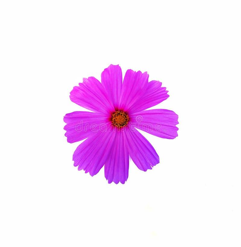 Розовый цветок космоса стоковое фото