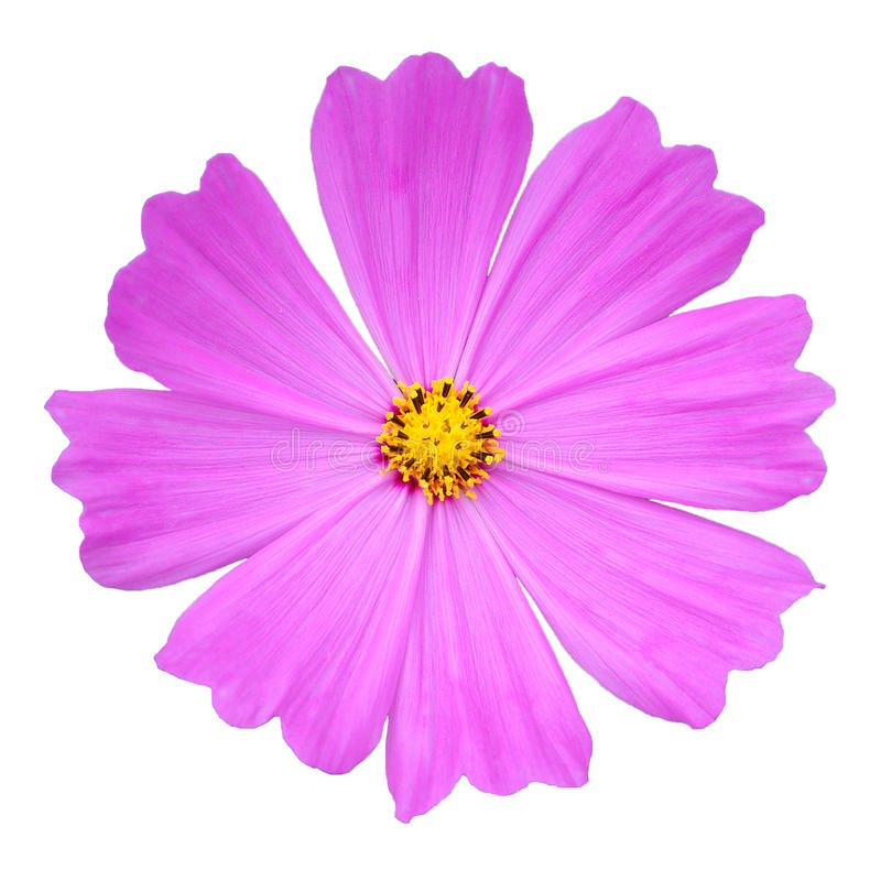 Розовый цветок космоса стоковые изображения rf