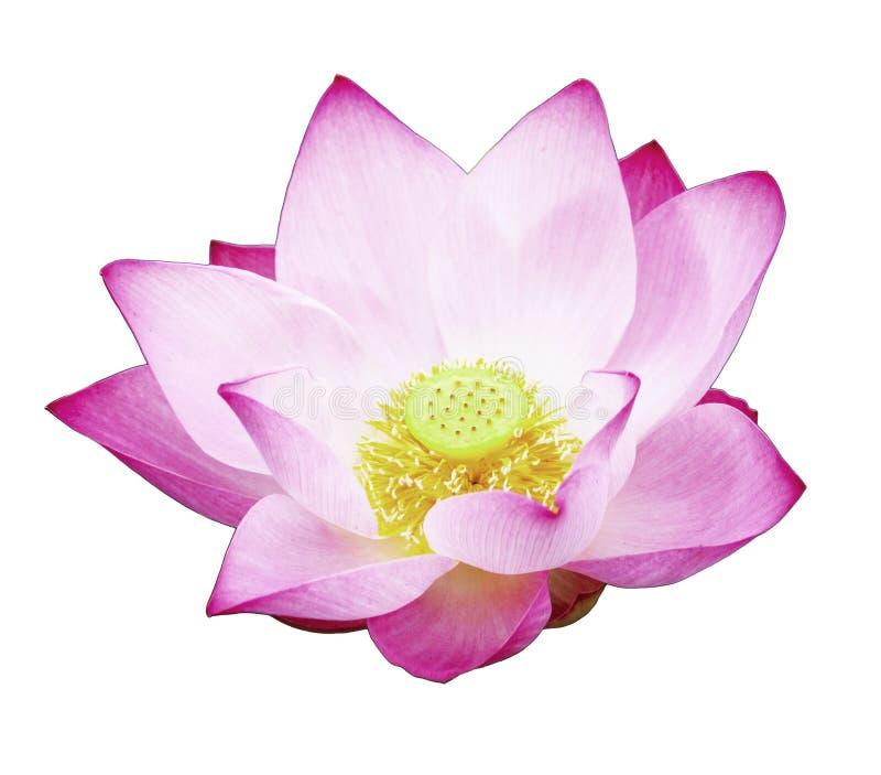Розовый цветок лотоса изолированный с путями клиппирования стоковые изображения rf