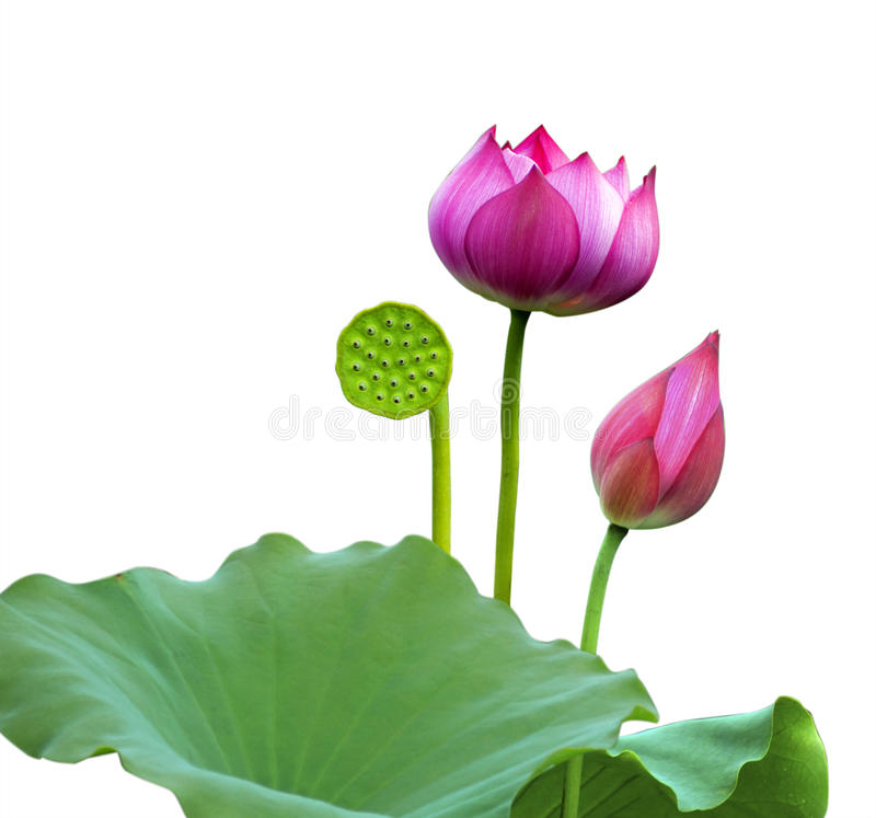Розовый цветок лотоса, стоковые фото