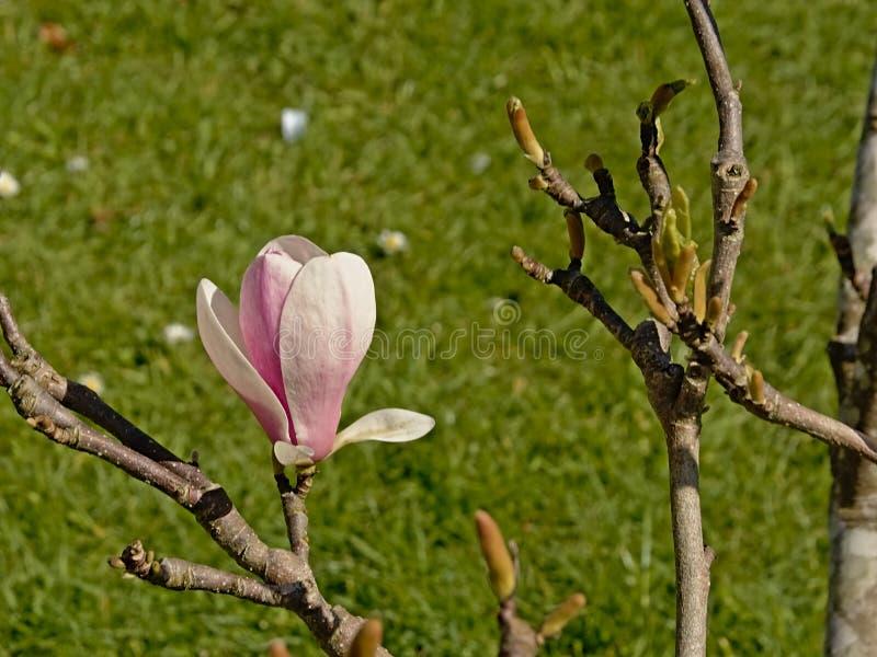 Розовый цветок магнолии, выборочный фокус стоковые изображения rf