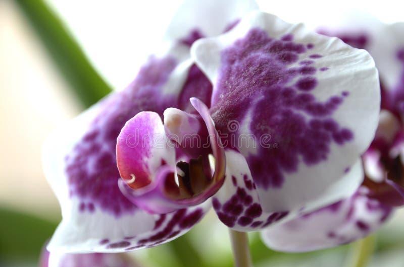 Розовый цветок орхидеи Съемка макроса стоковая фотография rf