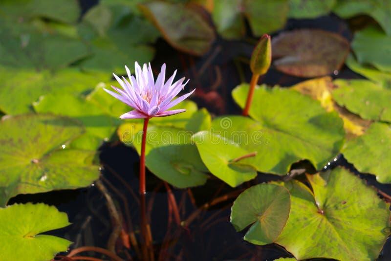 Розовый цветок лотоса зацветая в бассейне стоковые изображения rf