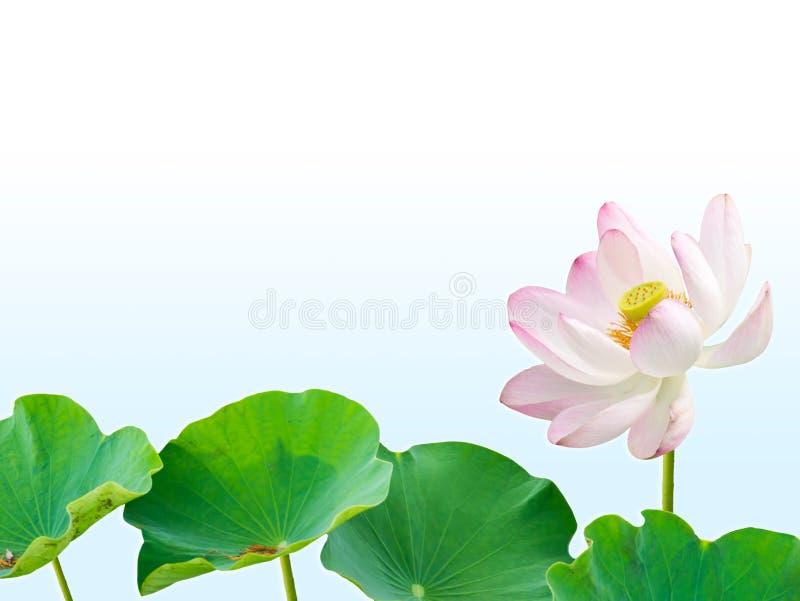 Розовый цветок лотоса и листья лотоса изолированные на голубом backgroun градиента стоковая фотография rf