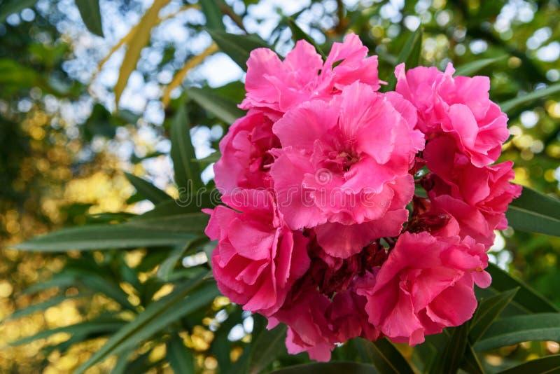 Розовый цветок олеандра Nerium стоковая фотография rf