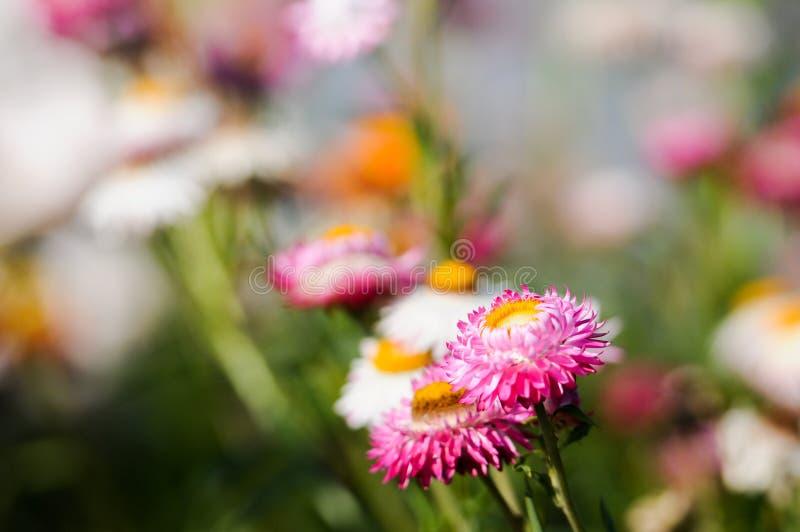 Розовый цветок сторновки стоковое изображение