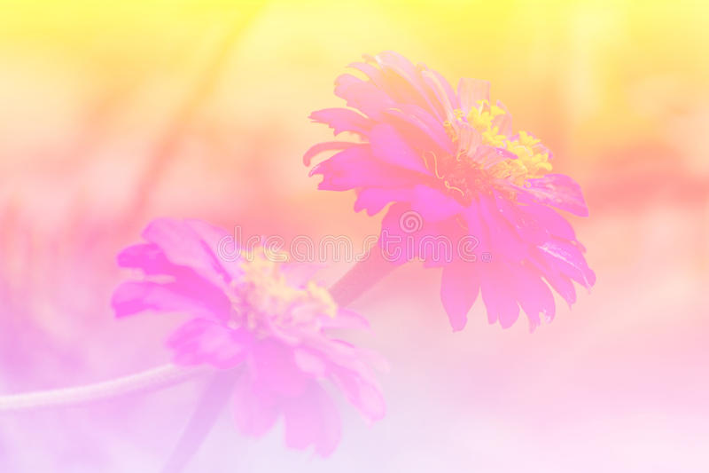 Розовый цветок сторновки стоковые фотографии rf