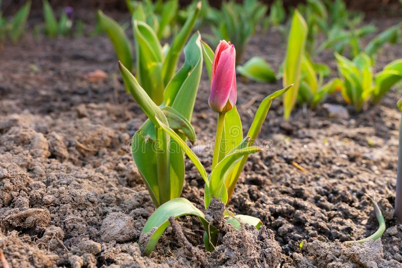 Розовый цветок тюльпана растет в земле с красивой предпосылкой bokeh стоковая фотография rf