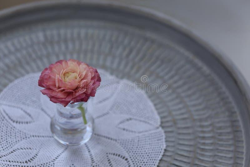 Розовый цветок лютика в малой стеклянной вазе стоковое фото rf