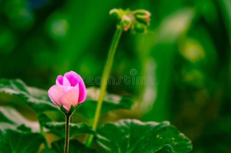 Download Розовый цветок стоковое фото. изображение насчитывающей макрос - 41662248