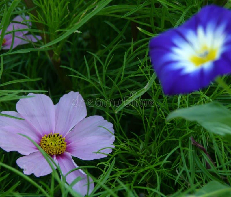 Розовый цветок cosme в траве с запачканным пол-ветром как предпосылка стоковые фото