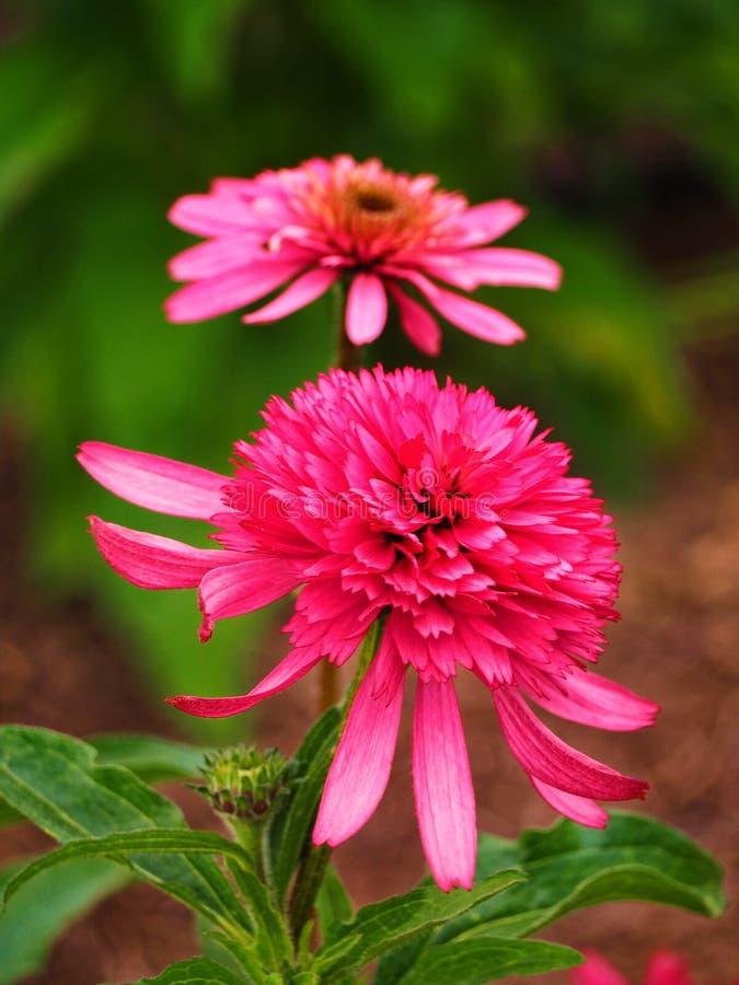 Розовый цветок Echinacea стоковые изображения rf