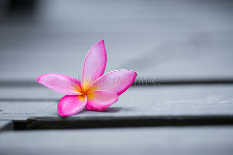 Розовый цветок frangipani на серое деревянном стоковое изображение rf