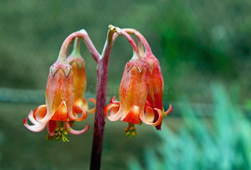 Розовый цветок orbiculata семядоли или уха ` s свиньи стоковая фотография rf