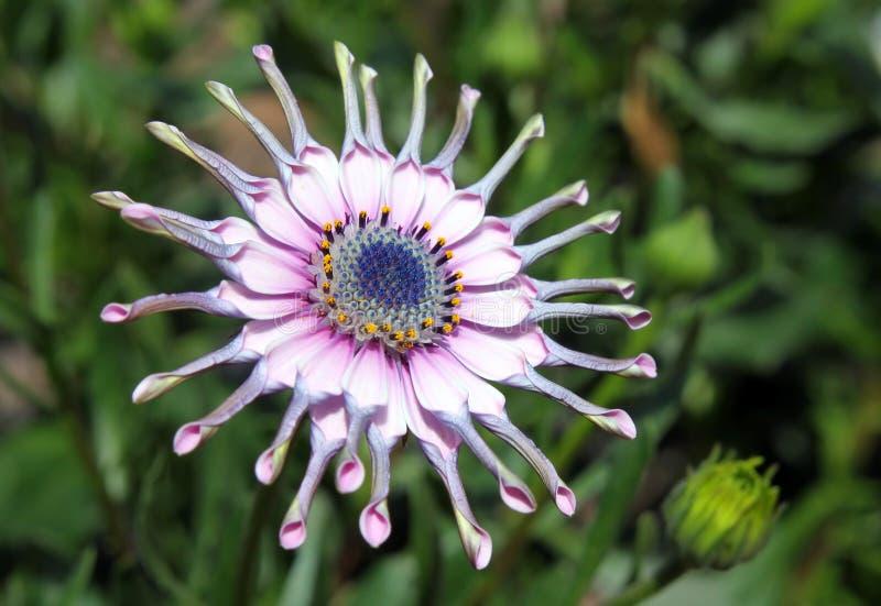 Розовый цветок Osteospermum стоковые изображения rf