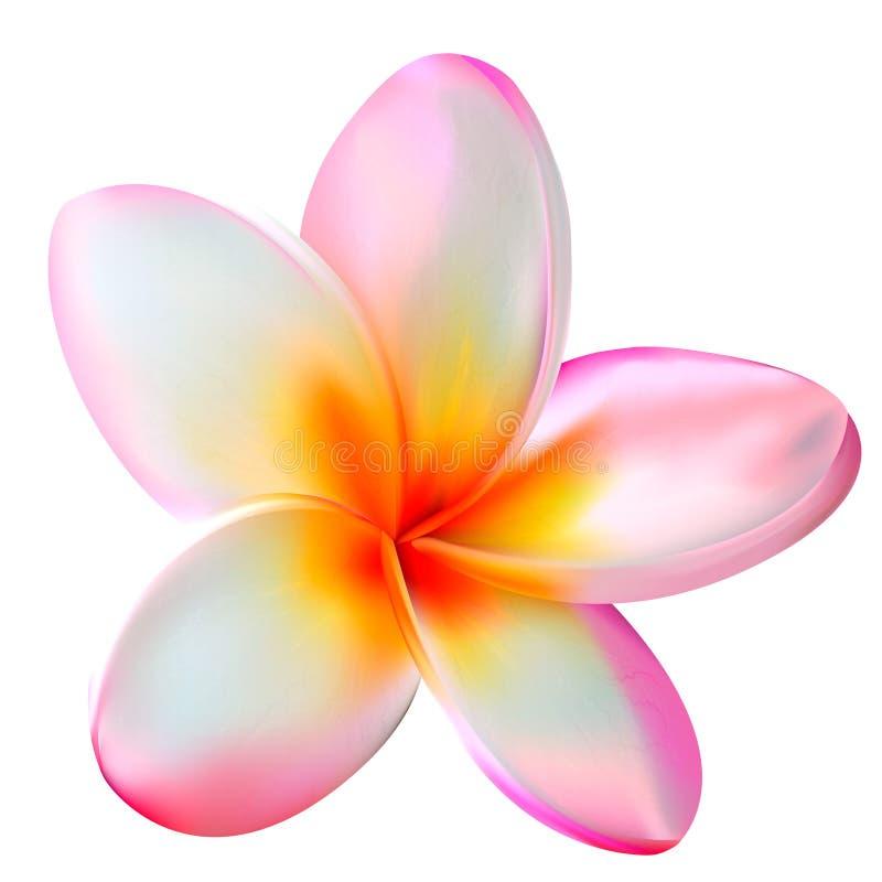 Розовый цветок plumeria. Иллюстрация вектора стоковые изображения