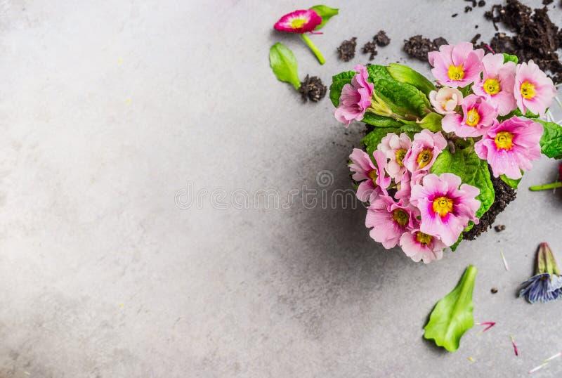 Розовый цветок primula для садовничать или производства керамических изделий на серой каменной предпосылке, взгляд сверху стоковое изображение rf