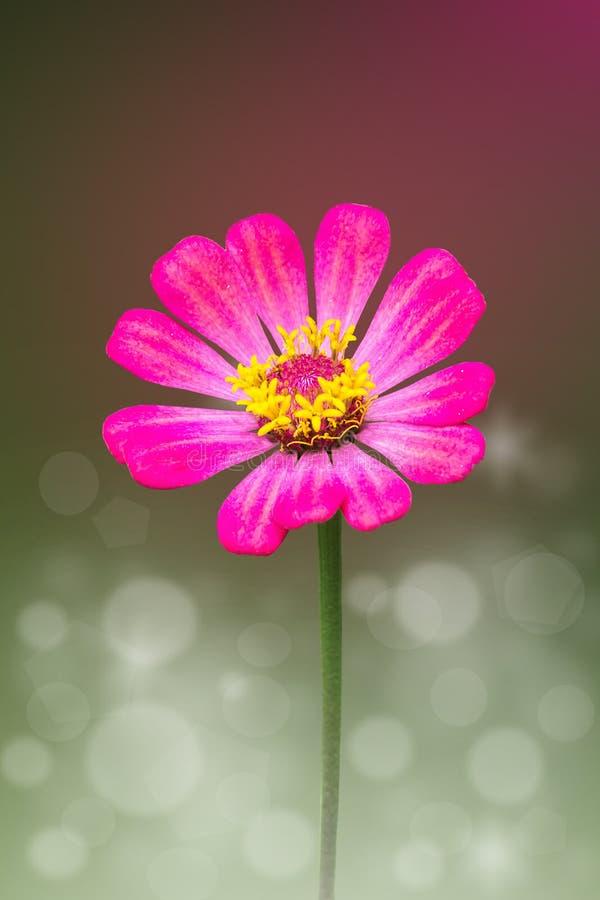 Розовый цветок Zinnia стоковая фотография