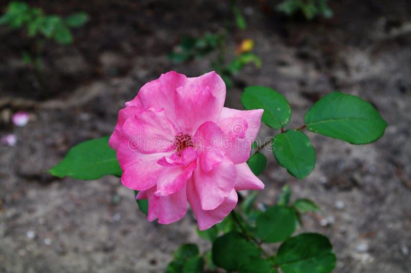 Розовый чай поднял Чувствительные лепестки стоковая фотография rf