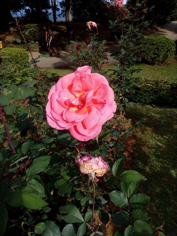 Розовый Шри-Ланка стоковая фотография
