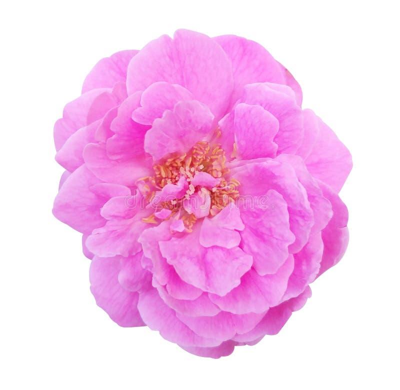 Розовый штоф поднял цветок на белой предпосылке стоковые изображения