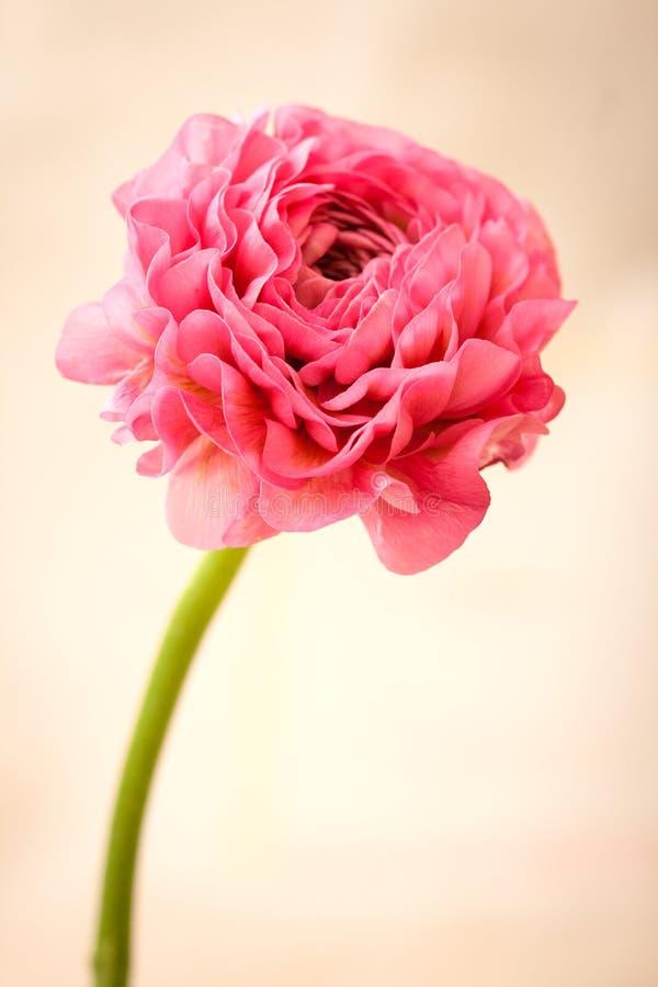 Розовый лютик стоковые фото