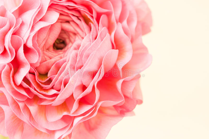 Розовый лютик стоковые изображения rf
