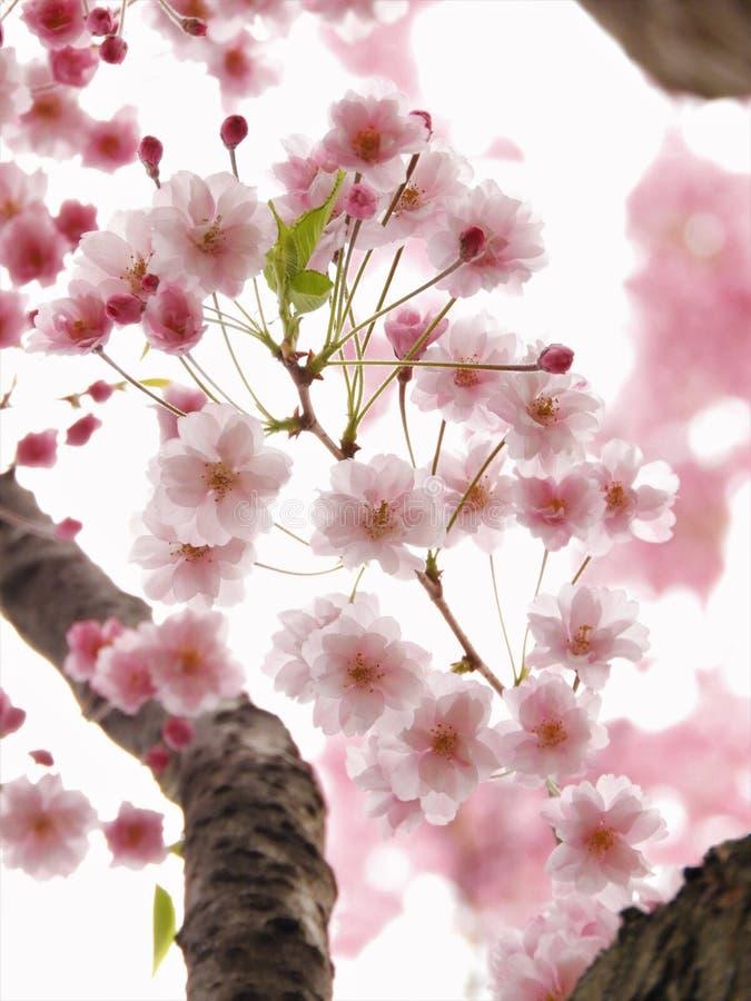 Розовый японский пересвет вишневых цветов Сакуры стоковое изображение rf