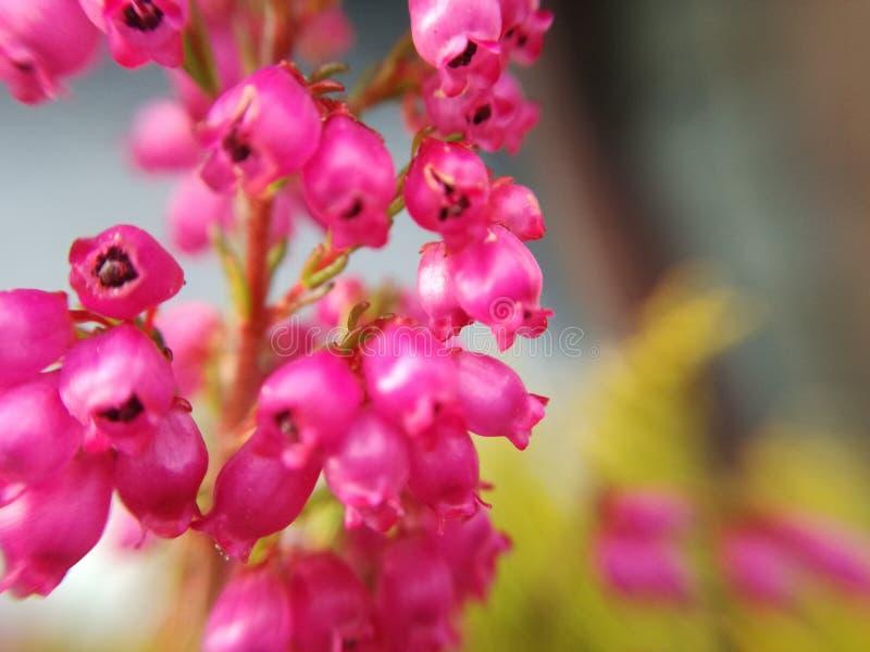 Розовый стоковое изображение