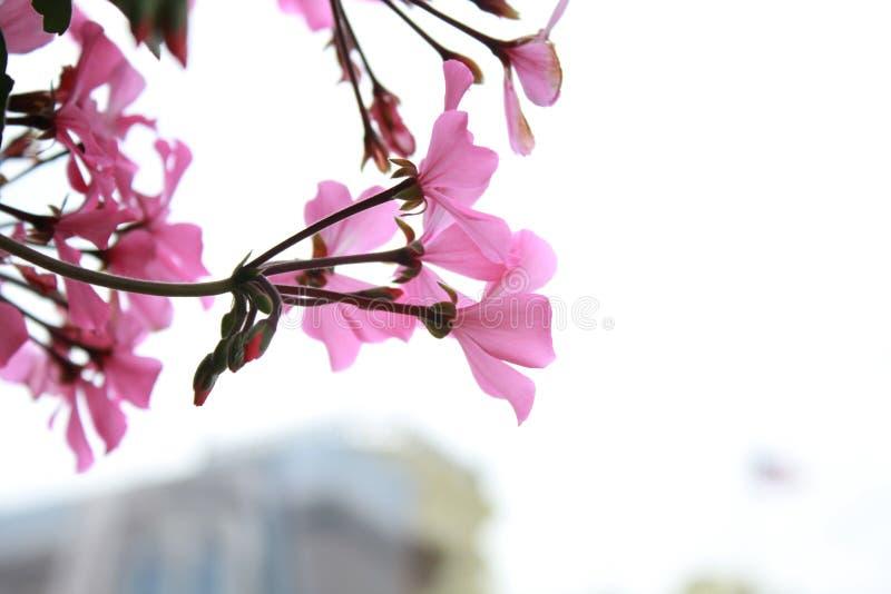 Розовый стоковые изображения rf