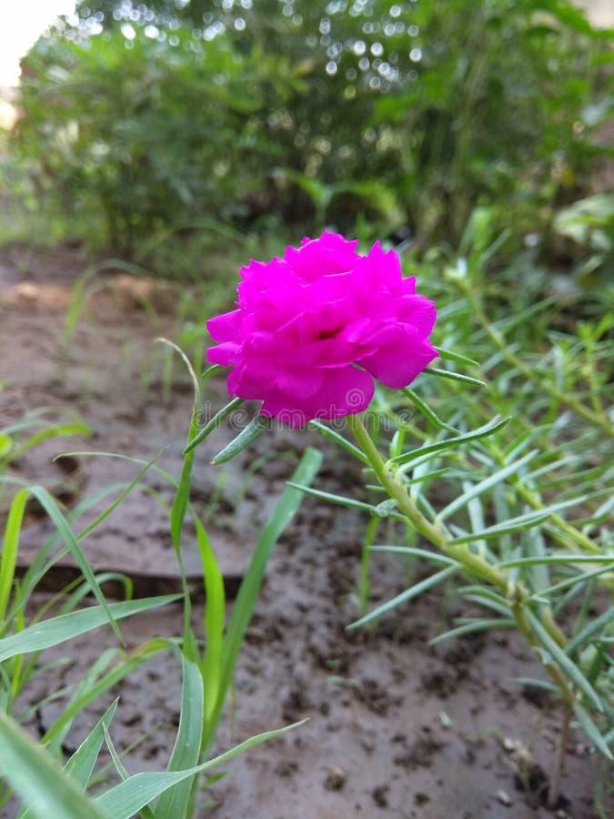 Розовый стоковая фотография