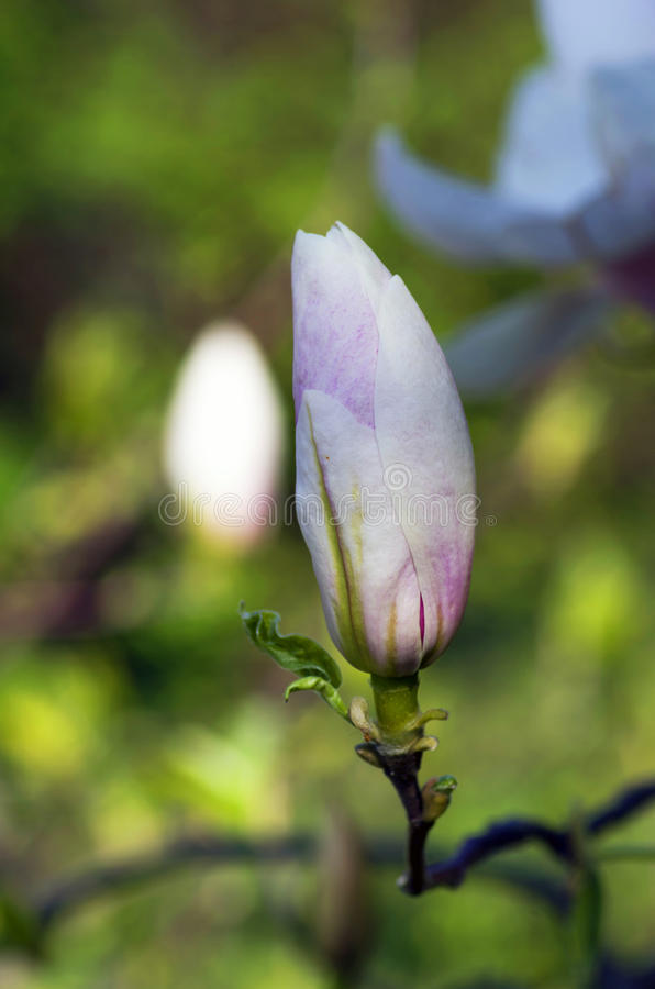 Download Розовый Abloom цветок магнолии Стоковое Фото - изображение насчитывающей сад, рамка: 40580470