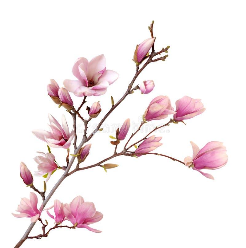 Розовый abloom цветок магнолии стоковое изображение