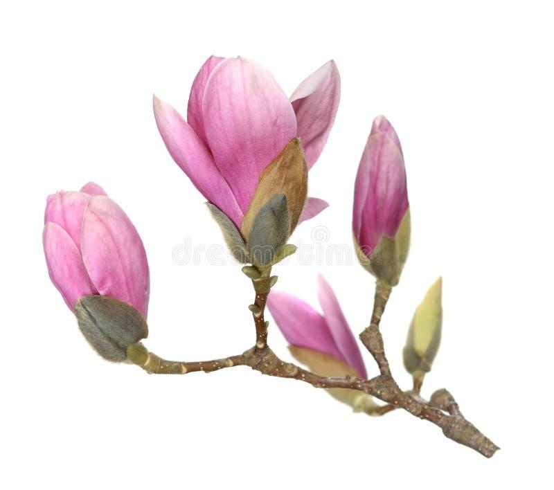 Розовый abloom цветок магнолии стоковые фото