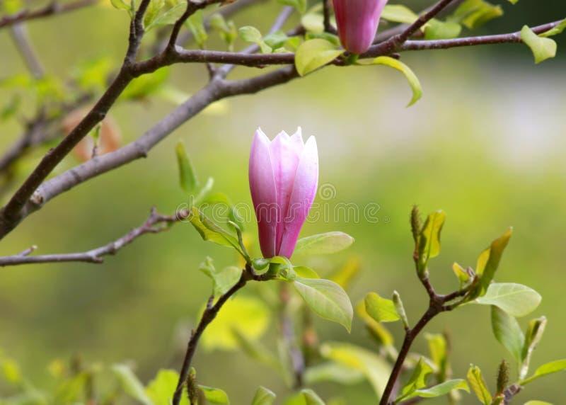 Розовый abloom цветок магнолии стоковая фотография rf