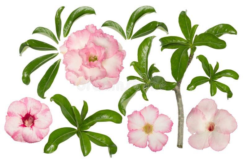 Розовый adenium с лист и ветвью на белой предпосылке бесплатная иллюстрация