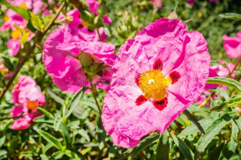 Розовый Cistaceae зацветая в парке, область цветков Утес-Роза San Francisco Bay, не родная к Калифорния стоковое фото rf