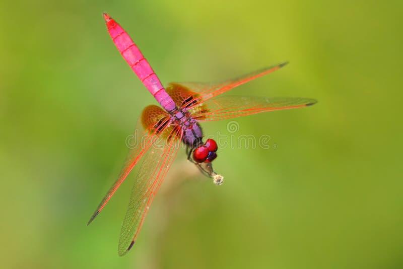 Розовый dragonfly от Шри-Ланки Малиновый dropwing, рассвет Trithemis, сидя на зеленых листьях Красивая муха дракона в природе стоковое фото rf