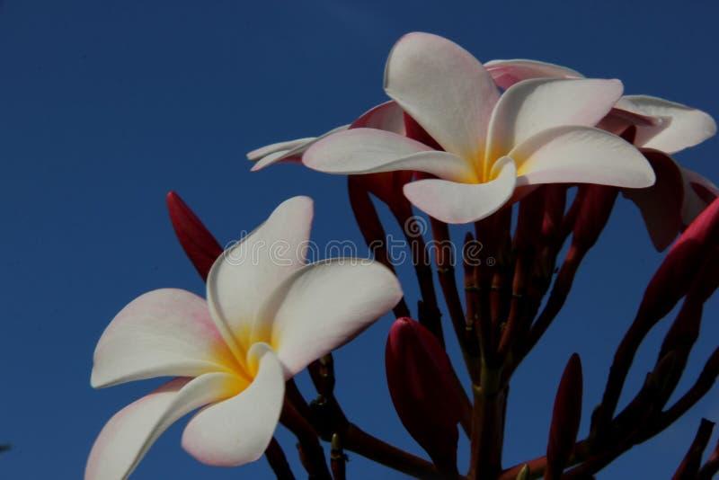 Розовый frangipani стоковая фотография rf