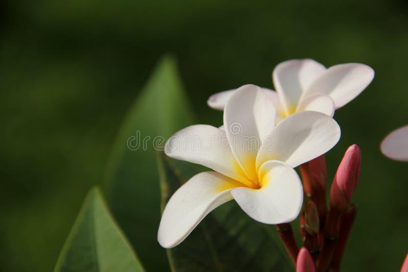 Розовый frangipani стоковые изображения rf