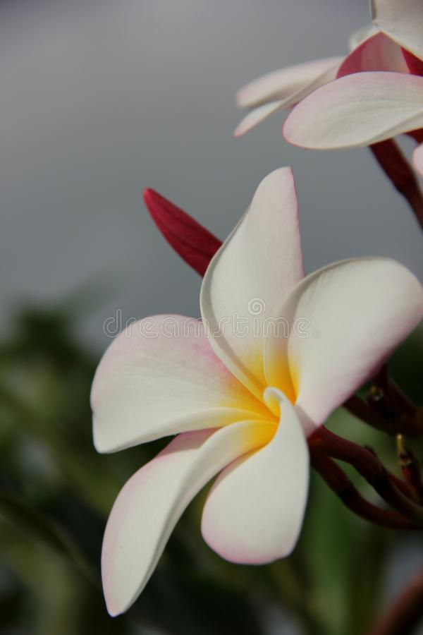Розовый frangipani стоковые фотографии rf