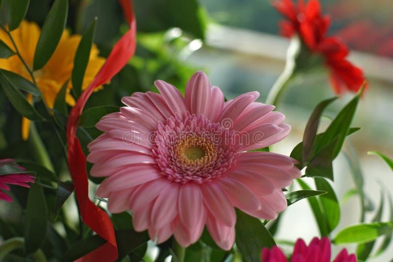 Розовый Gerbera стоковые изображения rf